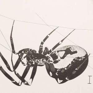 cobweb-spider-sm